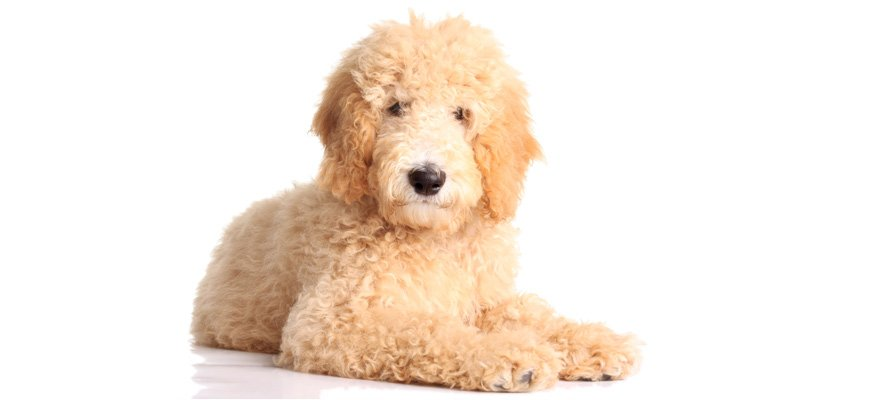 goldendoodle lying on the floor