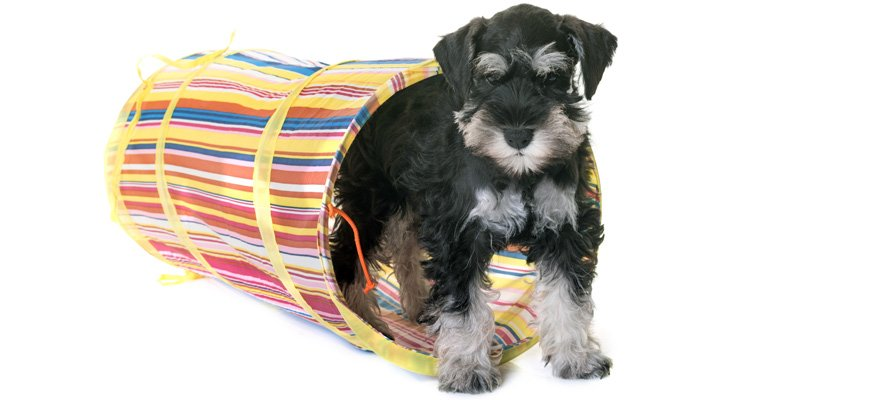 puppy in agility tunnel
