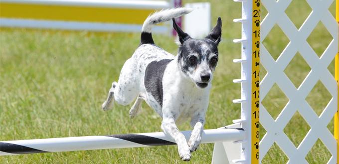 rat terrier breed