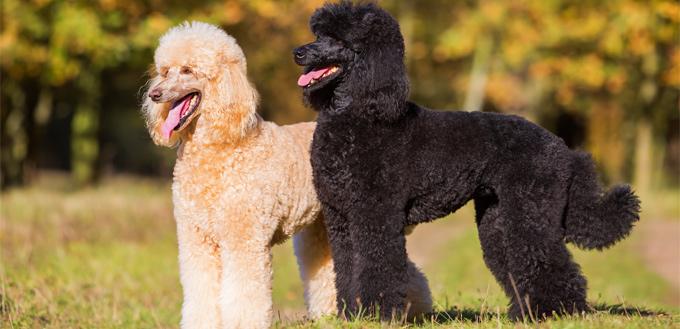 royal poodles