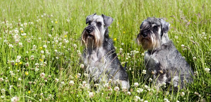 schnauzers in the grass