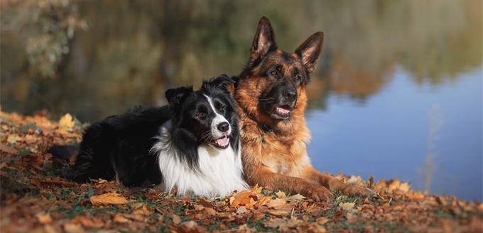 senior dogs lying