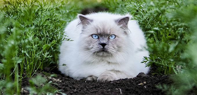 Himalayan Cat sitting on the ground