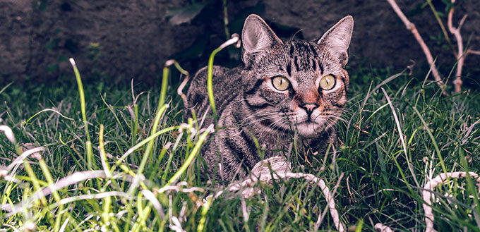 Manx Cat in the grass