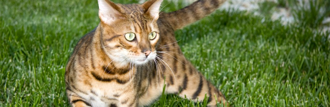 bengal-cat-breed-information