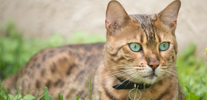 bengal cat in the grass