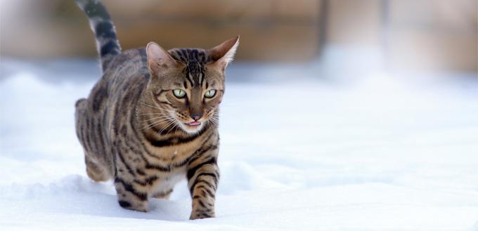 bengal cat through the snow
