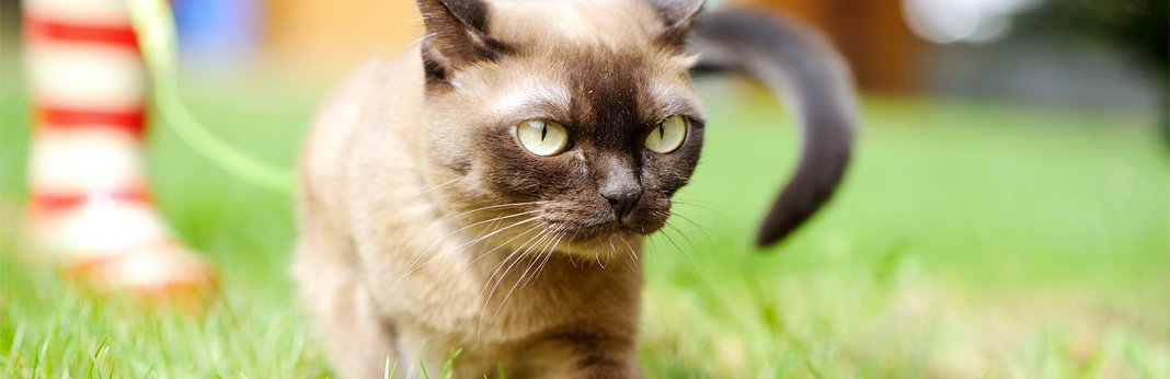 birman-cat—breed-information