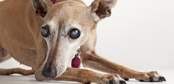 canine with cataract