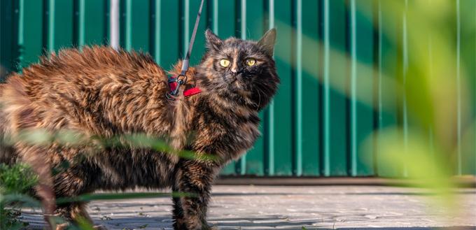 cat walk on the leash