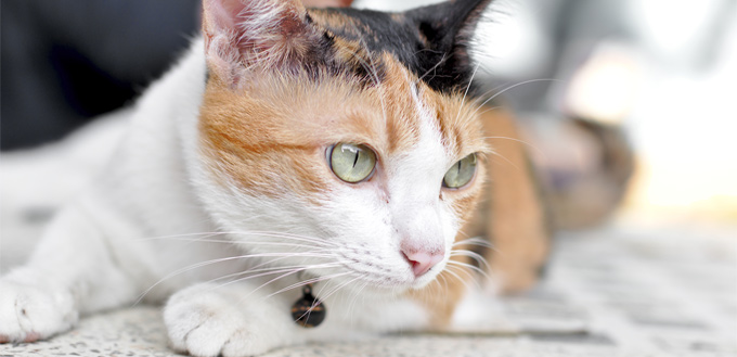 cat with skin disease