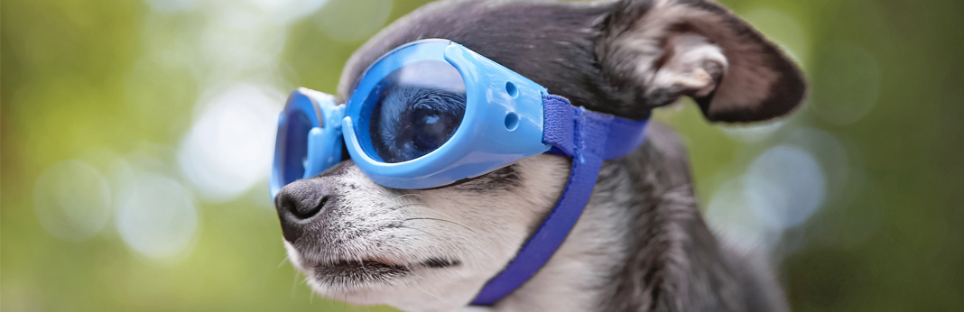 chihuahua-with-goggles
