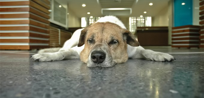 dog suffering from anal gland health issues