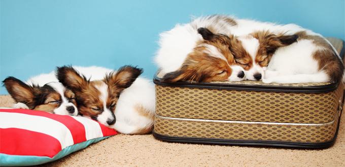 dogs sleeping on the luggage
