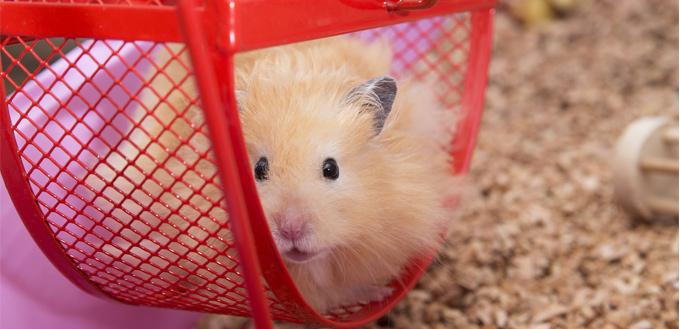 gerbil on the wheel