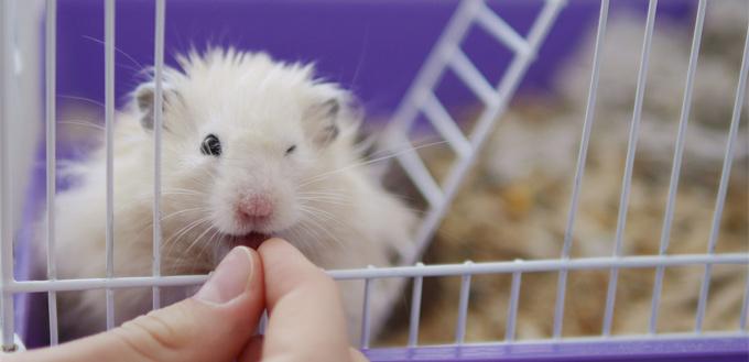 hamster office pet