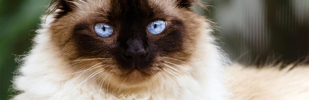 himalayan-cat-breed-facts