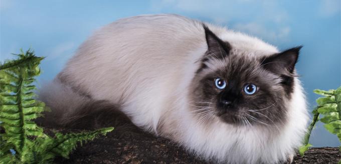himalayan cat lying