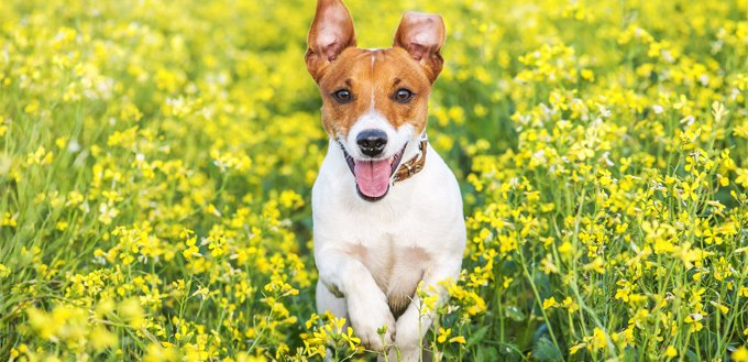 jack russell running through the field