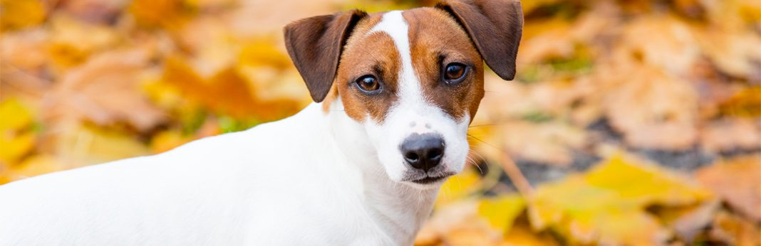 jack russell terrier: breed facts & temperament