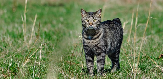 manx cat in the field