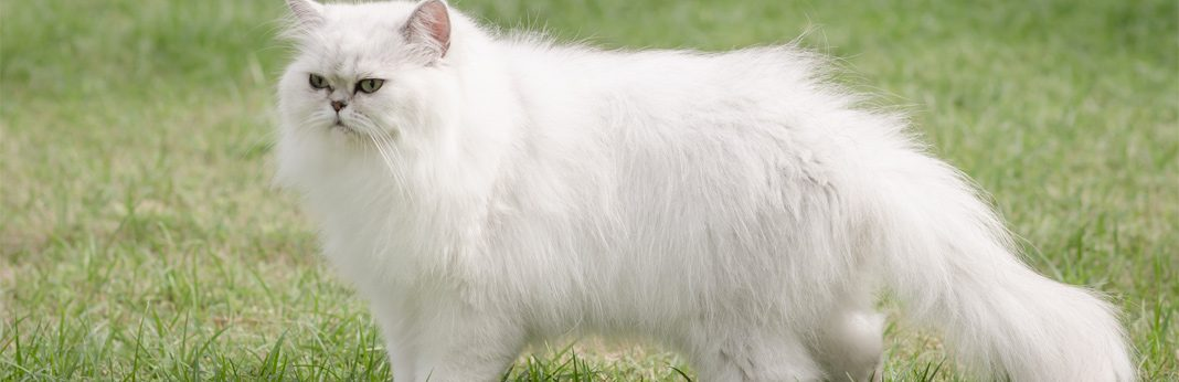 persian cat breed facts