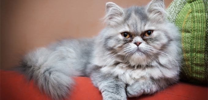 persian cat lying on the bed
