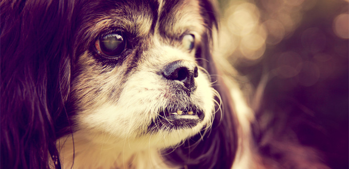 pooch with cataract