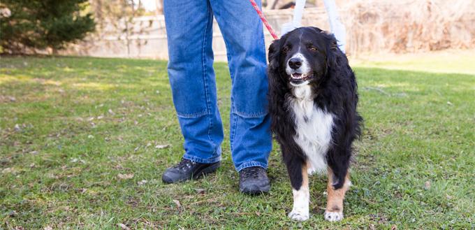 post surgery dog walk