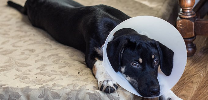 puppy recovering from a surgery
