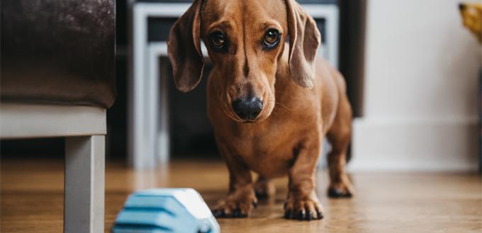 sausage dog begging for food