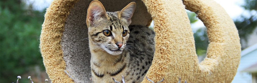 savannah cat breed facts