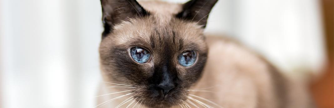 siamese-kitten