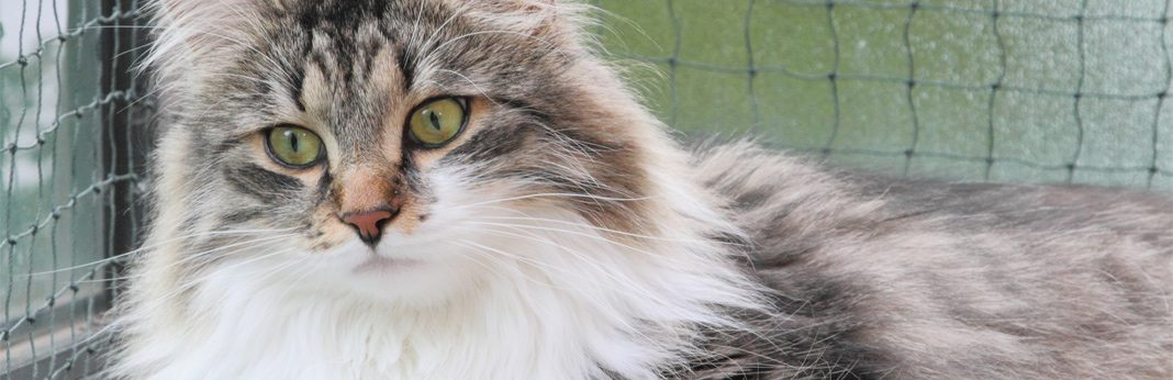 siberian cat breed facts