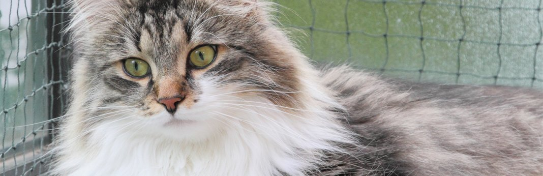 siberian-cat-breed-facts