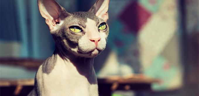 sphynx cat posing