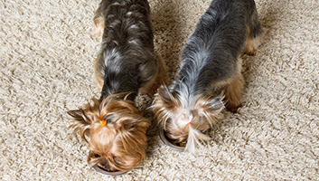 Dog Foods To Feed Your Yorkie