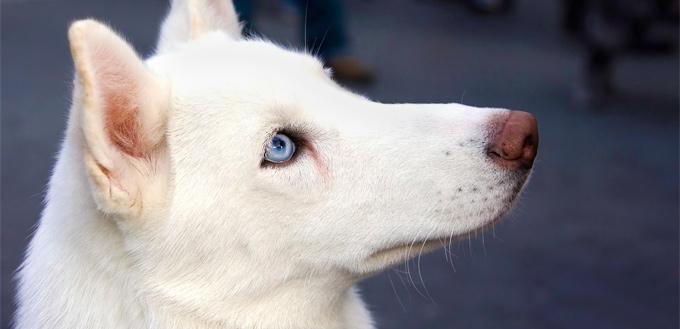 blue eyes white husky
