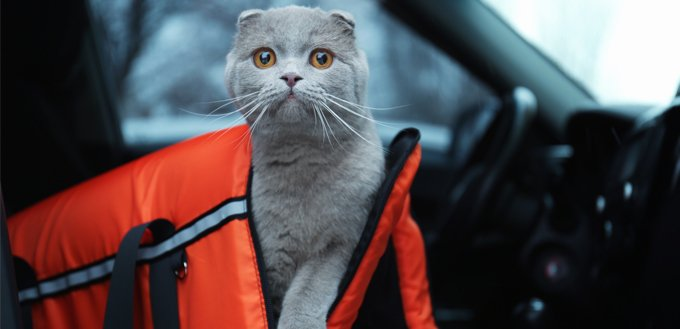 carry a cat