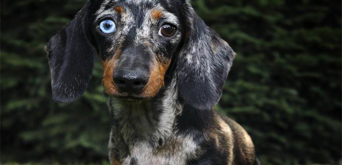 dachshund with blue eyes
