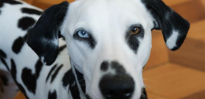 dalmatian with blue eye