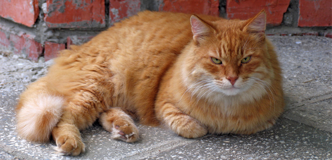 dementia in feline