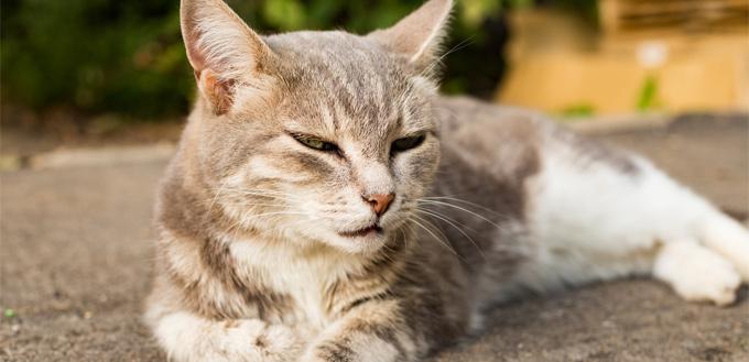 dementia in felines