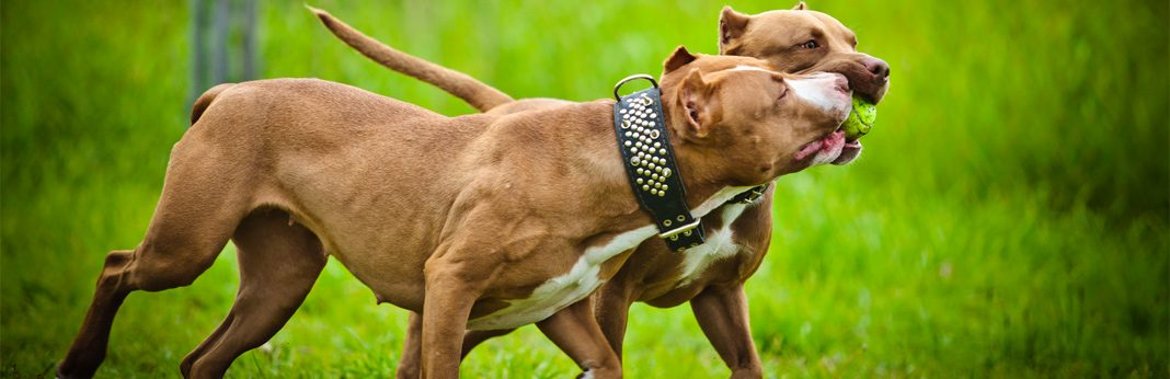 differences in male and female pit bull terriers