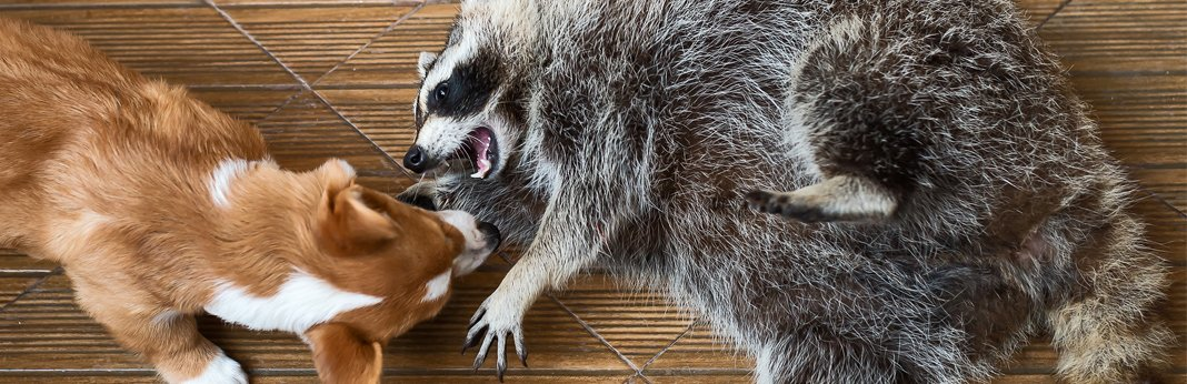 dog-and-a-racoon