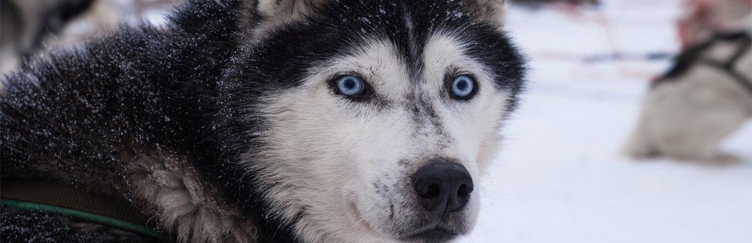 dog-breeds-with-blue-eyes