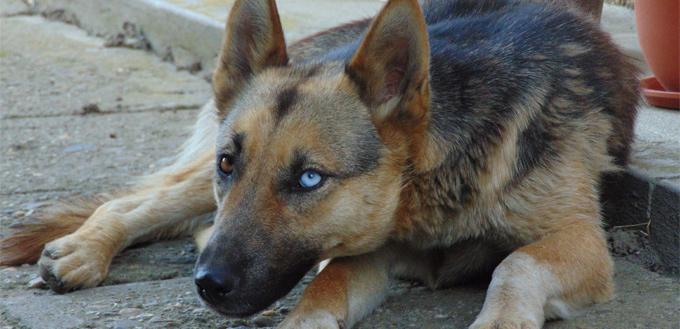 german shepherd with blue eye