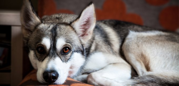 husky on the couch