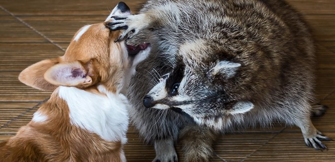 racoon and dog playing