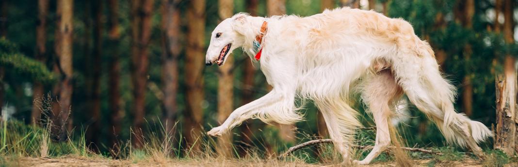russian-hunting-dog